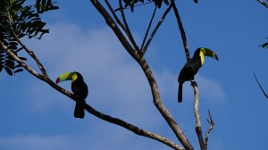 keel-billed-toucan-1080724_1280